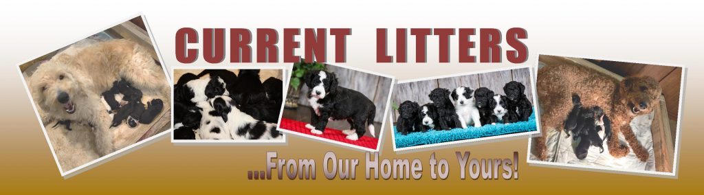 The latest puppies at Carrier Family Doodles