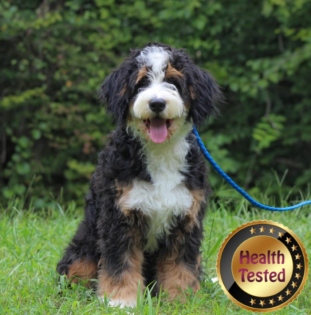 Buster, one of our health tested puppy parents