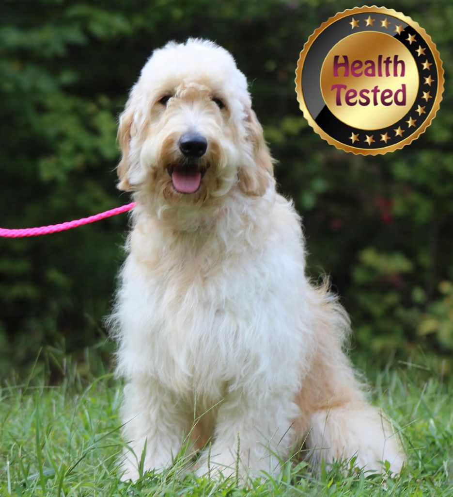 Cammy, one of our health tested puppy parents
