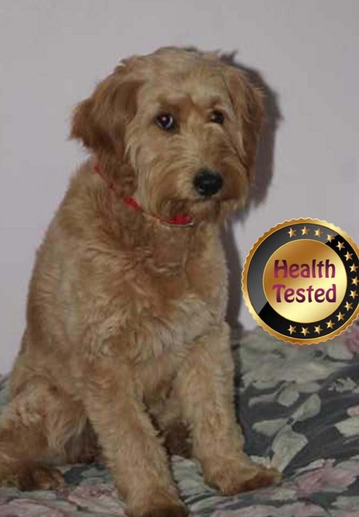 Jina, one of our health tested puppy parents