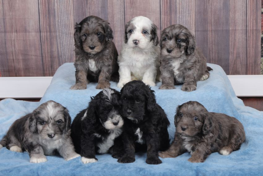 Carrier Family Doodles Golden Mountain doodle puppies contact us!
